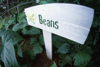 Beans produce multiple crops if you harvest them regularly.