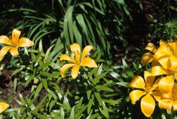 Lilies bring powerful pops of color to your garden.