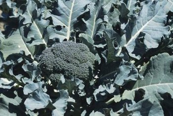 Broccoli plants need a short, sturdy stem to support the developing broccoli heads.