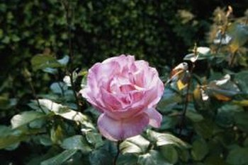 Blending grass clippings with well-rotted compost can increase its effectiveness as a rose mulch.