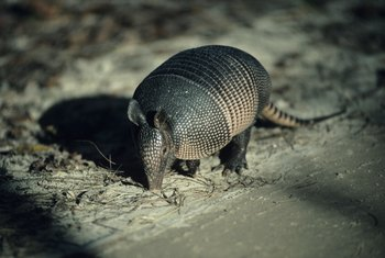Armadillos hunt underground for food.