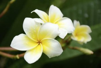 Plumeria flowers are also used to make perfumes.