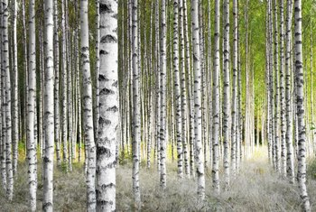 Paint a series of birch trees with minimal details for an impressive wall mural.