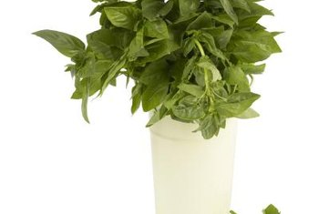 Sprouting basil indoors gives it a good start before growing season.