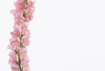 Pink snapdragons are the result when homozygous red and white snapdragons are bred.