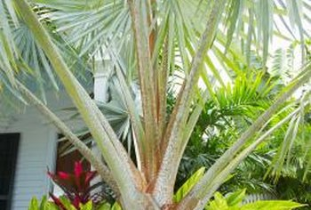 Some palm trees produce large leaves while staying short.