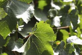 Muscadine grapes need yearly pruning to reduce overcrowding.