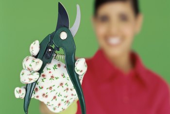 Use sharp, clean shears to cleanly remove thick flower stalks.