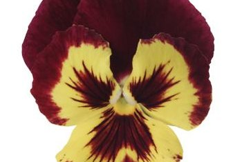 "Pansies are known for their brightly marked ""faces."""