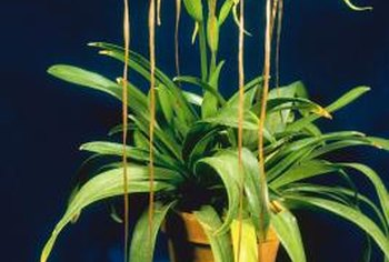 Preserve the health of your orchid by removing diseased leaves.