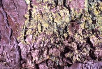 Good watering and fertilizing practices can prevent lichens on trees.