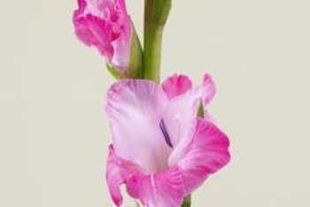 Gladioli grow in pink, red, lavender, yellow and white varieties.