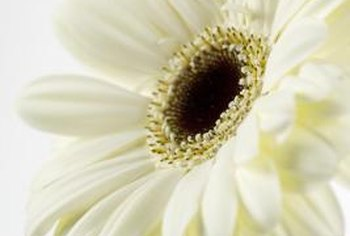 Gerbera daisies add color and charm to your garden.