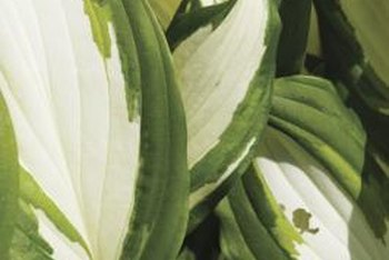 There are about 70 species of hostas, and some have variegated foliage.