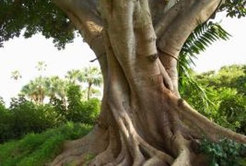 Ficus trees produce large root systems that can cause problems with water pipes and hardscaping in lawns.