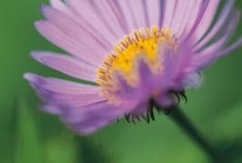 Asters bring a splash of color to the fall yard.