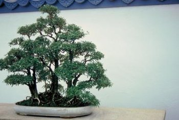 A woodland display for several junipers makes an appealing bonsai.
