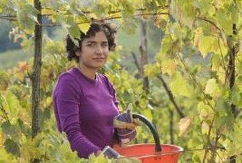 Vinedressers cultivate and maintain grapevines.