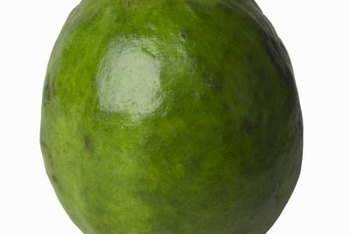 The guava is semi-deciduous, originating in the tropics but losing its leaves in the event of extended frosts.