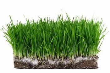 Newly sprouted grass seeds offer tender growth for pet diets.
