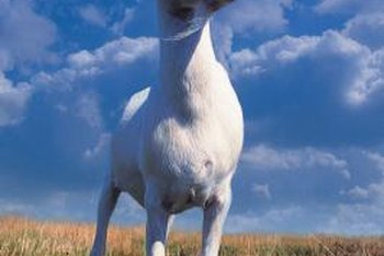 The white Saanen goat ranks among the top milk producers.