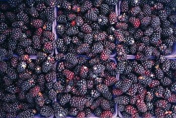 Packed with nutrition and easy to grow, Doyle's blackberries are a great choice your garden.