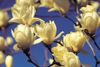 A magnolia relative in a rare yellow hue looks like banana shrub without the edging.
