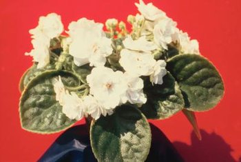 You can induce flowering on African Violets by providing suitable light intensities.