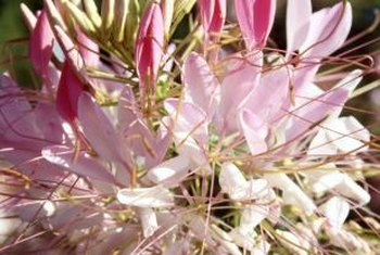 The flowers of the cleome have earned it the common name of spider flower.