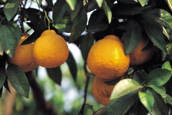 Citrus and other tropical fruit trees require frost protection and care.