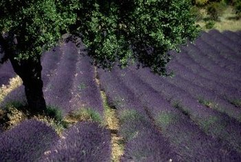 French lavender is often used to make perfume.