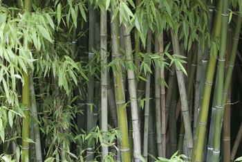 It might take decades, but bamboo dies after flowering.