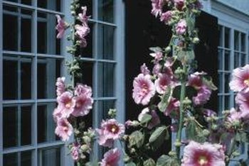 Hollyhocks rival hibiscus in the showiness of their blooms.