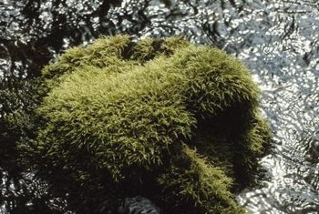 Moss can soften rocky surfaces but is unwelcome in most lawns.