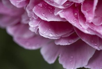 Give your peony the best care you can to fend off fungus.
