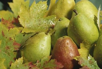 Pear scab can damage pear trees and their fruit.