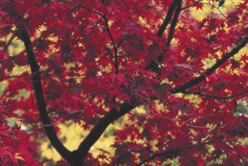 Autumn Blaze maples display brilliant red foliage in fall.