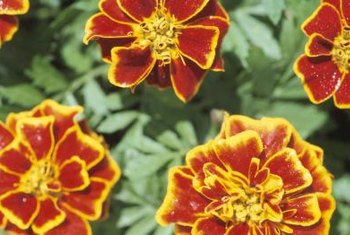 French marigolds attract hoverflies, whose larvae feed on aphids.