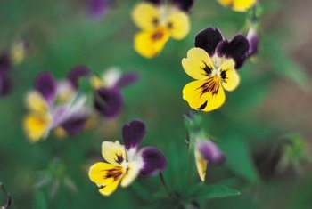 Johnny-jump-up flowers are also called heart's-ease.