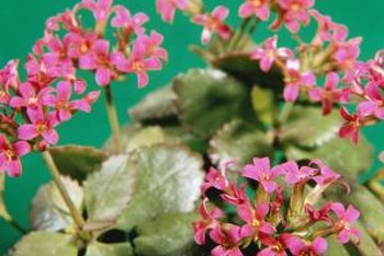 Kalanchoe, native to Madagascar, grows as a houseplant.