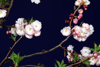 Showy pink, white or red crabapple flowers bloom in the spring.