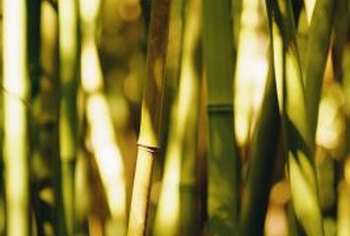 Bamboo comes in a wide range of heights, leaf size and stem colors.