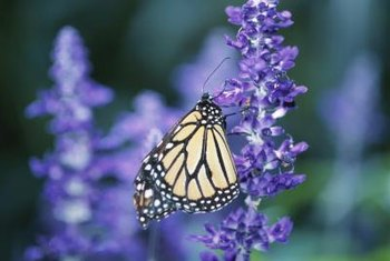 Purple flowers set off the bright yellows and oranges of many butterflies.