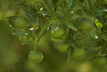 Sprinklers left on may help protect an orange tree from a freeze.