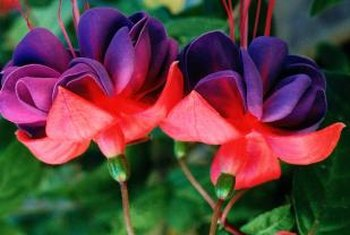 Double fuchsias produce striking blooms with proper care.