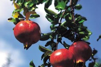 Keep insects off your pomegranate using natural sprays.