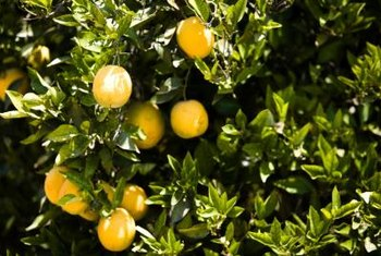 Orange trees must be kept insulated from freezing air.