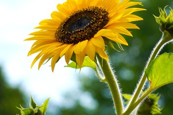 Sunflowers are one of the few flowers that are native to North America.