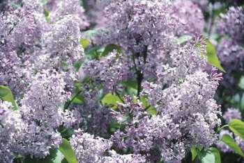 Trimming helps to keep lilac bushes healthy.