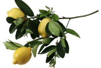 Liquid copper sprays help prevent lemon tree diseases.